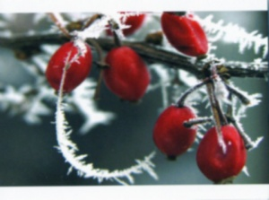 Frosty Berries Christmas Cards - Pack of 10